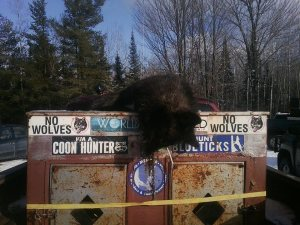 Wolf killed by WI hound hunters 12/14