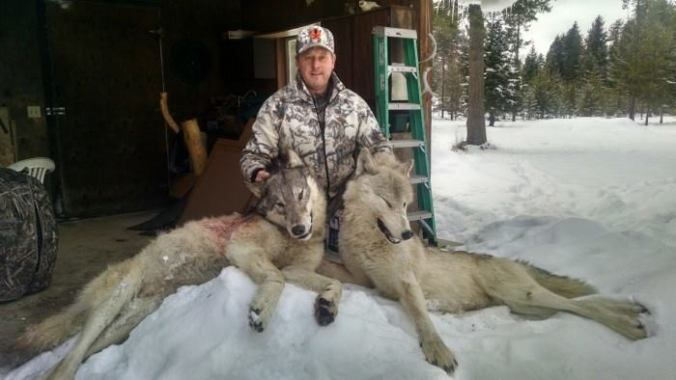 Two wolves trapped January 14th, 2015 Sanders County, Montana