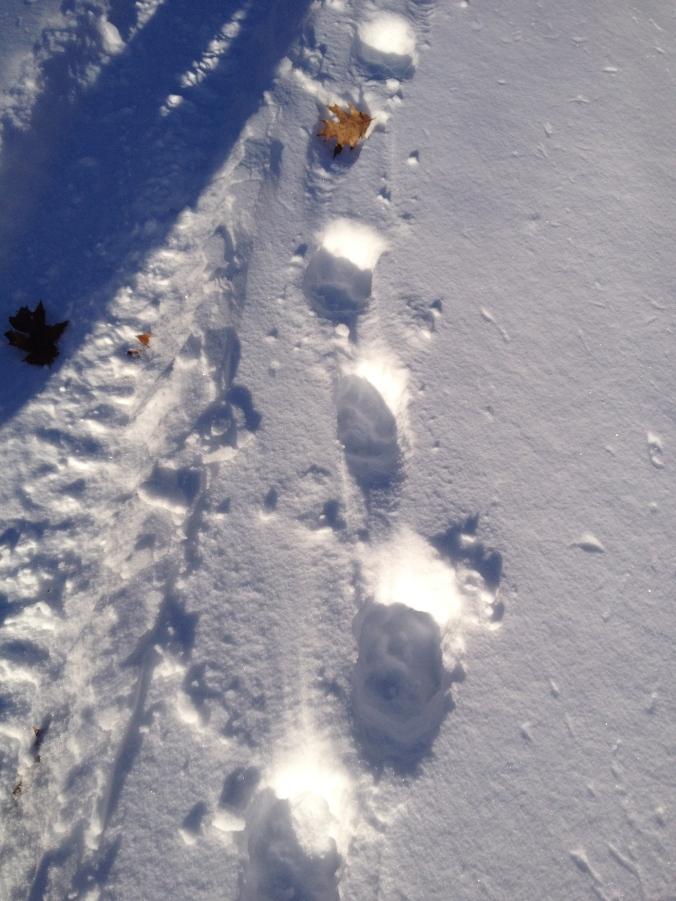 Fresh Wolf Tracks