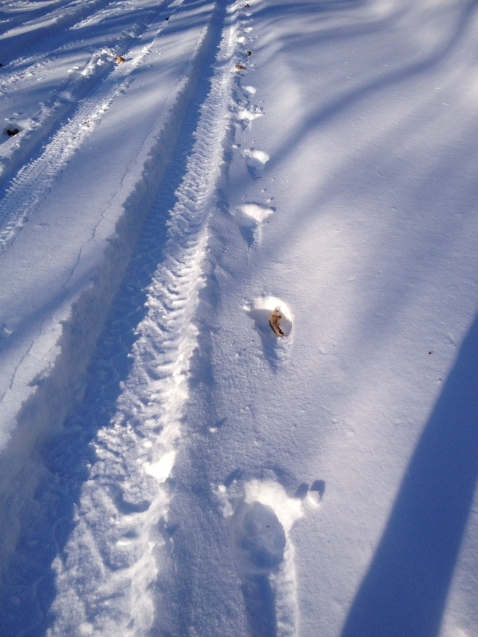 Wolf Tracks Following the Road...
