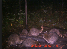 Raccoons feeding from bait site