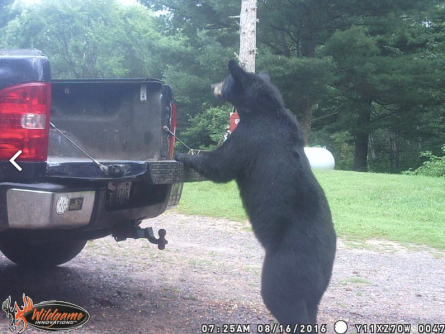 bear attracted to baiters truck