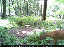 deer feeding from bait site