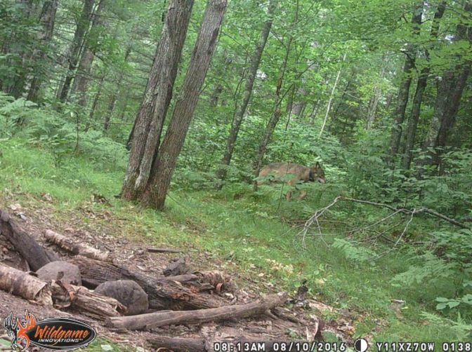 radio-collared wolf visiting bait site.