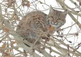 koty-barth-bobcat-ii