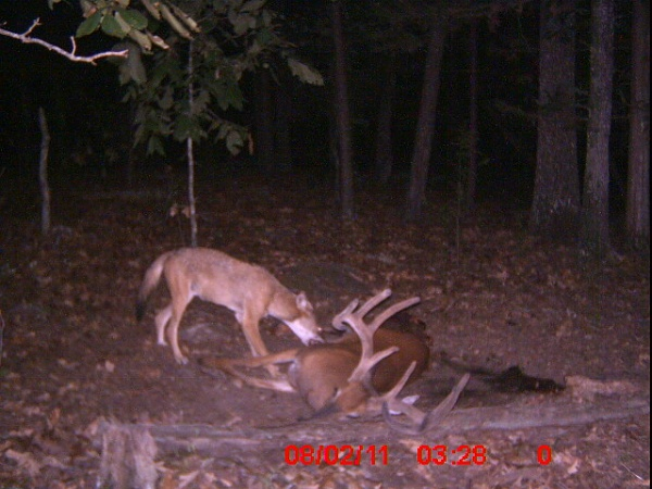wolf-eatin-deer