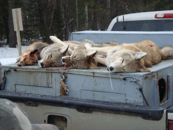 Coyotes on hound box.