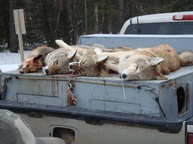 jody-campbell-dead-coyotes