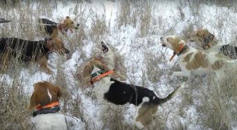 Hounds surrounding coyote.