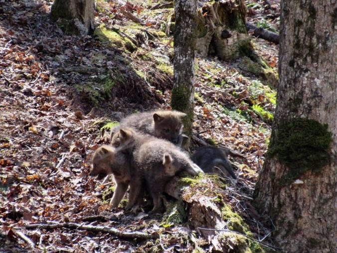wolf pups III