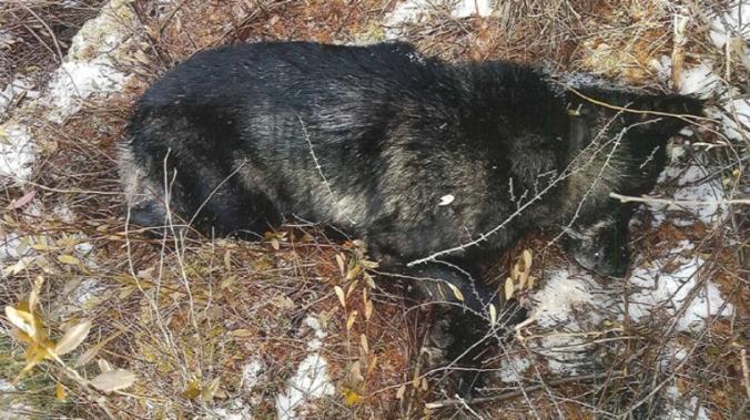 ONEIDA COUNTY DEAD WOLF