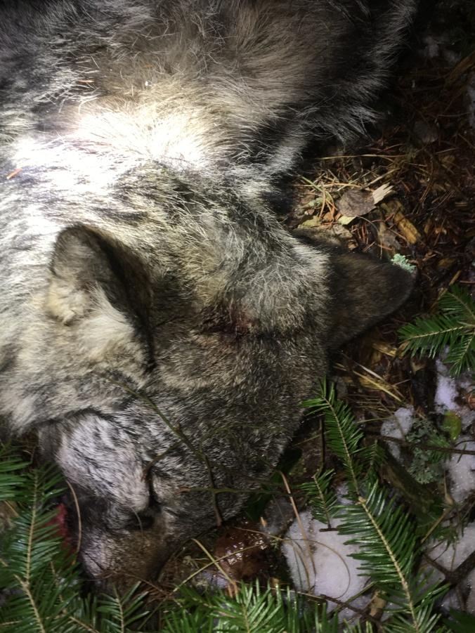 ABERLY WOLF