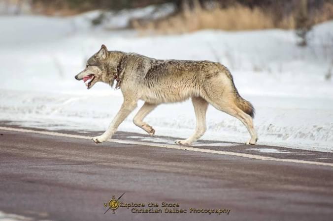 dalbec wolf