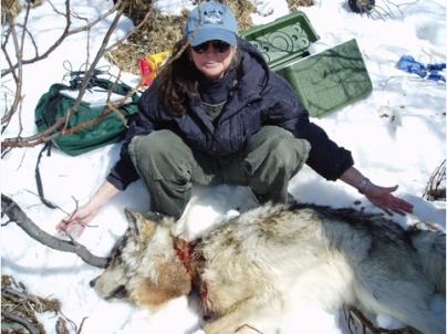 Alberta wolf with snare around neck.