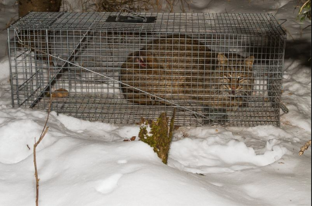 Bobcat captured with snare around waist.