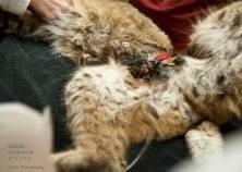snared bobcat III