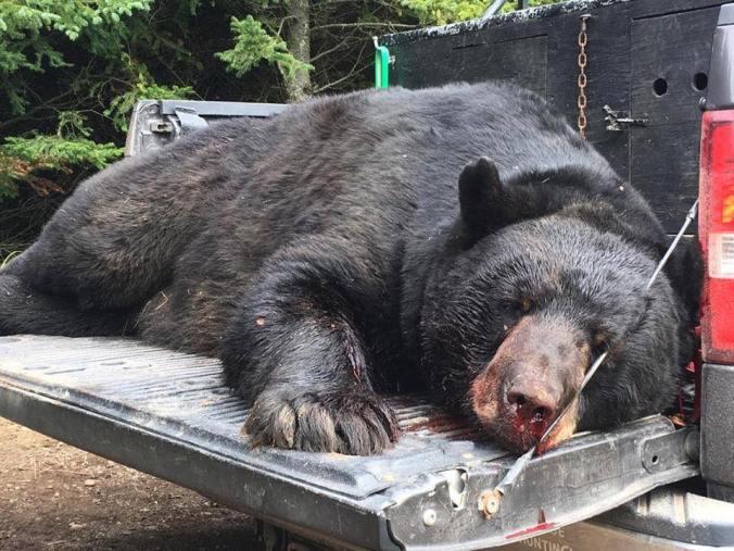 716LB TAYLOR COUNTY BEAR )(.17.18