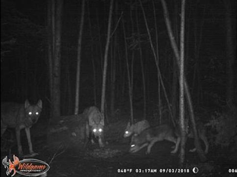 Wolves at bear bait 09/03/18.