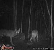 Wolves at bear bait 09/03/18