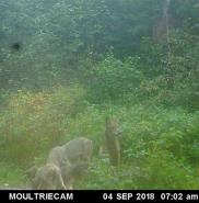 Wolves at bear bait 09/04/18.