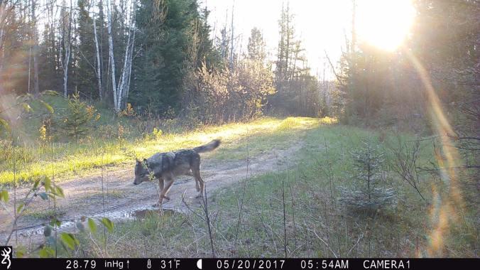 gaspardo wolf