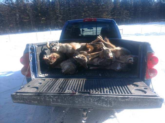 01.27.19 van de walle dead coyotes