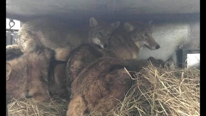 brian allen coyotes