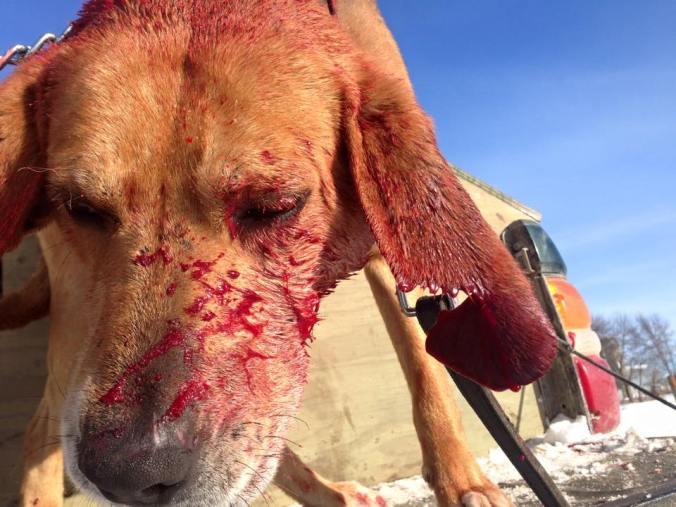 gravdal hound torn ear 15