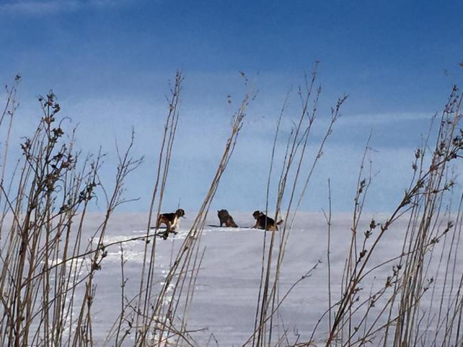 Gravdal's hounds chasing after coyote.