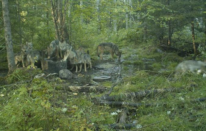 WOLVES AT BAIT