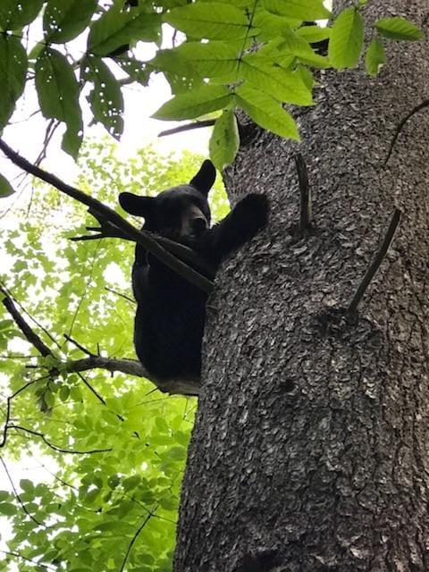 07.18 BEAR CUB TREED