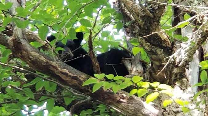 GBH TREED BEAR 07.06.19