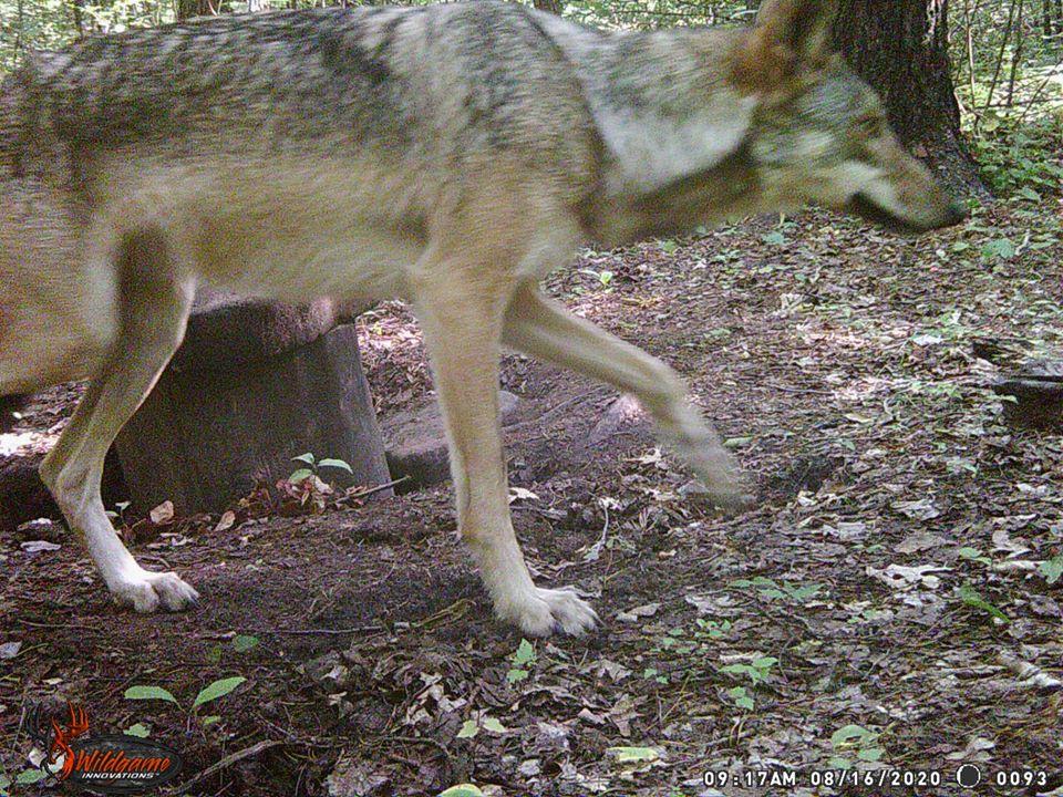 08.16.20 STEVE WHITE WOLF